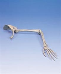 Skelett arm