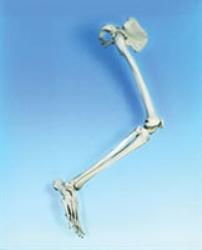 Skelett ben