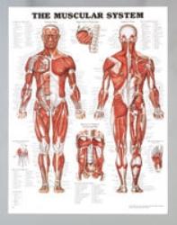 Plansch anatomi muskler