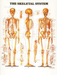 Plansch anatomi skelett