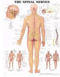 Plansch perifera nervsystemet